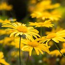 Sea of Yellow by Ellesscee