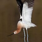 American Avocet wing stretch by Bryan  Keil