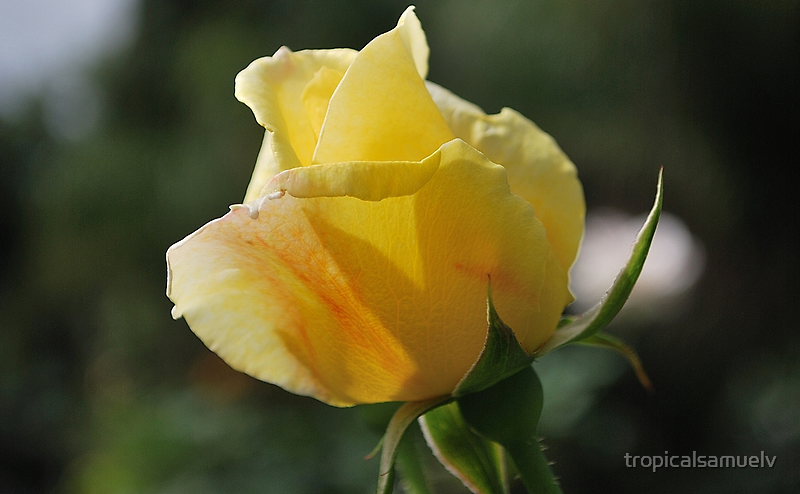 Yellow Rose Friendship by tropicalsamuelv