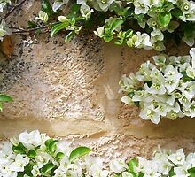 White Bougainvillea 01 11 12 by Robert Phillips