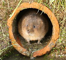 Water Vole by Mark Hughes
