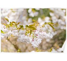 Beautiful blossom ~ Japanese Garden, Mawgan Porth Poster