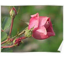 Autumnal Rose Poster