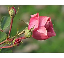 Autumnal Rose Photographic Print