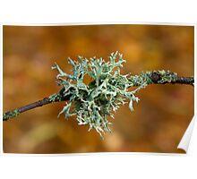 Lichen on Branch Poster