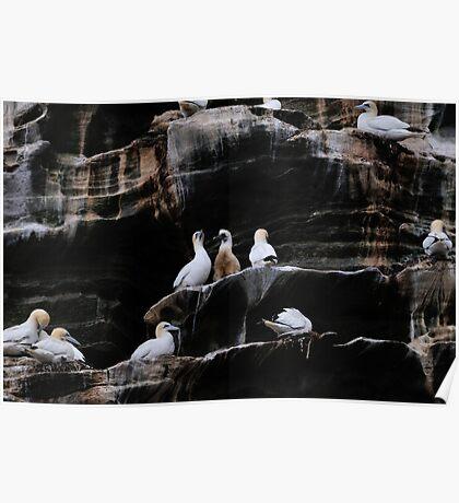 Gannets, Noss, Shetland Poster