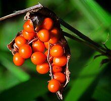 Iris Foetidissima ~ Stinking Gladwyn by Susie Peek