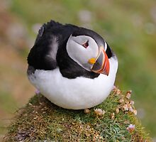 Puffin, Sumburgh Head, Shetland by Richard Ion