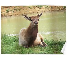 A Young Elk Bull Poster