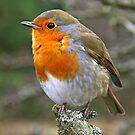 Red Red Robin by RoystonVasey