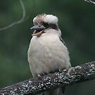 Laugh, kookaburra, laugh.... by ellismorleyphto