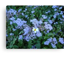 Wild Ageratum and Bidens alba (He loves me, he loves me not) Canvas Print