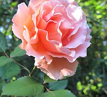 A Rosy Glow by Pat Yager