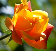 Sweet Smelling Rose 1 by Alison Hill