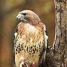 Broad Winged Hawk ~ by Renee Blake