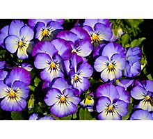 Pansy Series 1 Photographic Print