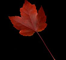 Maple Leaf by Jeffrey  Sinnock