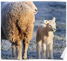 Frosty sheep Poster