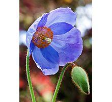 Blue poppy Photographic Print