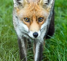 Fox by Mark Hughes