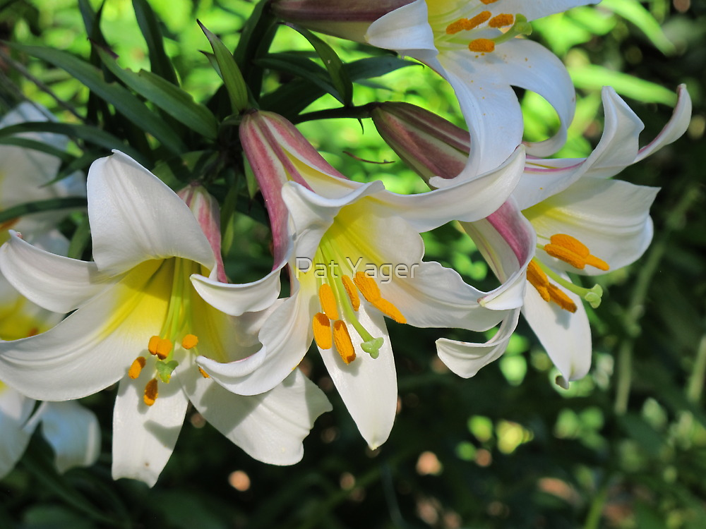 The Beauty of Lilies by Pat Yager