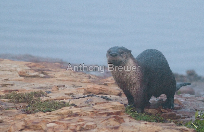 Otter on a rocky shore by Anthony Brewer