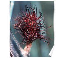 Casuarina paludosa Female flower swamp sheoak 19811018 0001 Poster