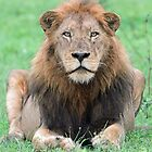 lions of africa by jozi1
