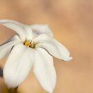 Star Of The Garden II by Josie Eldred