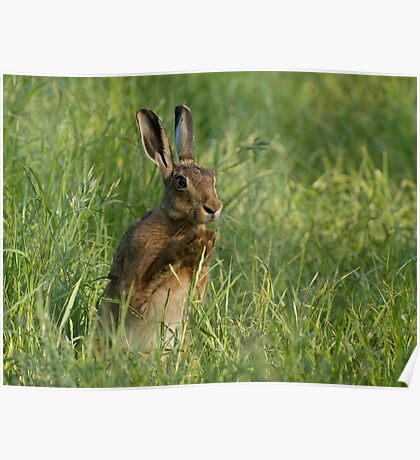 European Brown Hare Poster