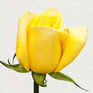 Yellow Rose Bud  - Gold Conquest  by DPalmer