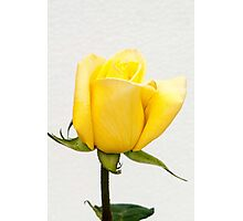 Yellow Rose Bud  - Gold Conquest  Photographic Print