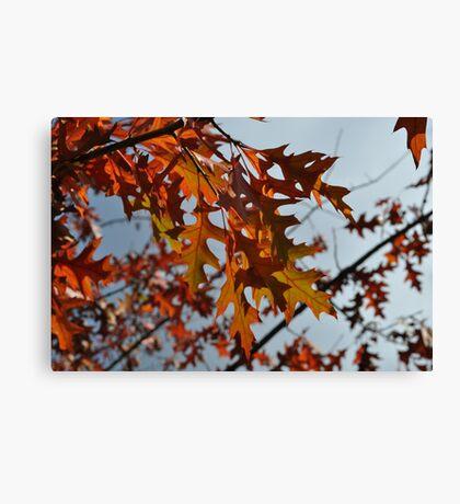 Turkey Oak in Autumn Canvas Print