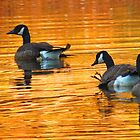 Golden Geese by Alex Call