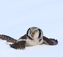 Hawk Owl by Remo Savisaar