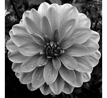 Black (and White) Dahlia Photographic Print