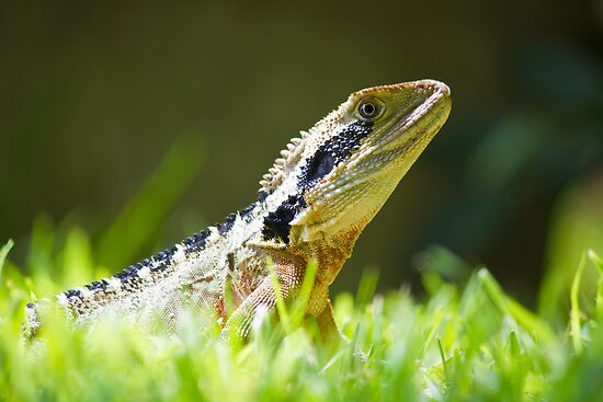 Eastern Water Dragon by Dean Cunningham