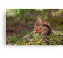 Red Squirrel in May sunshine Canvas Print