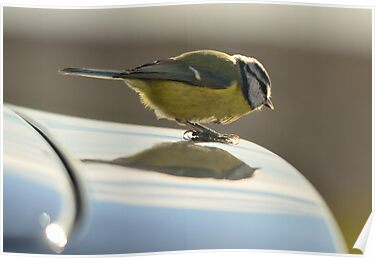 Blue Tit, a new logo on my car? by Steve