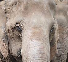Asian Elephants by FesterLover