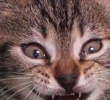 Cute kitten (Tyger) smiling Sticker