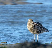 Curlew, Bannow Bay, County Wexford, Ireland by Andrew Jones