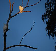 cockatoo in the evening aus by stefan mazur