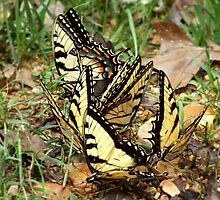 Tiger Swallowtails by mothermoth