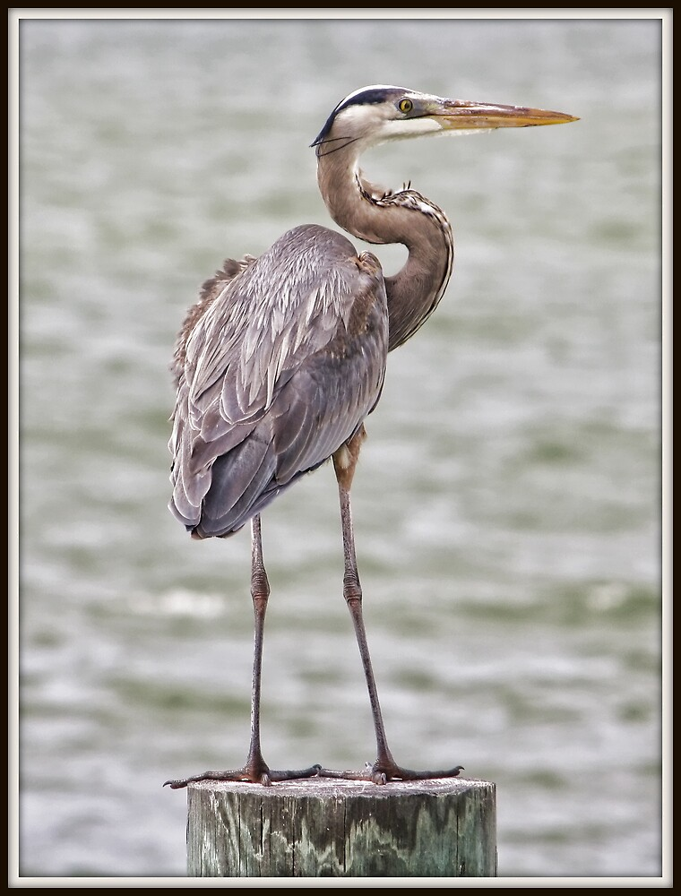 Great Blue Heron by Mikell Herrick