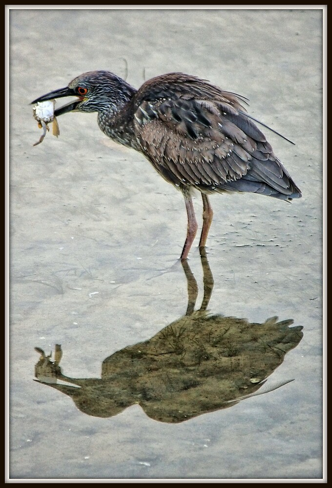 Juvenile Yellow Crowned Night Heron by Mikell Herrick