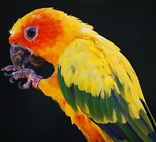 Sun Conure by Ron Hannah