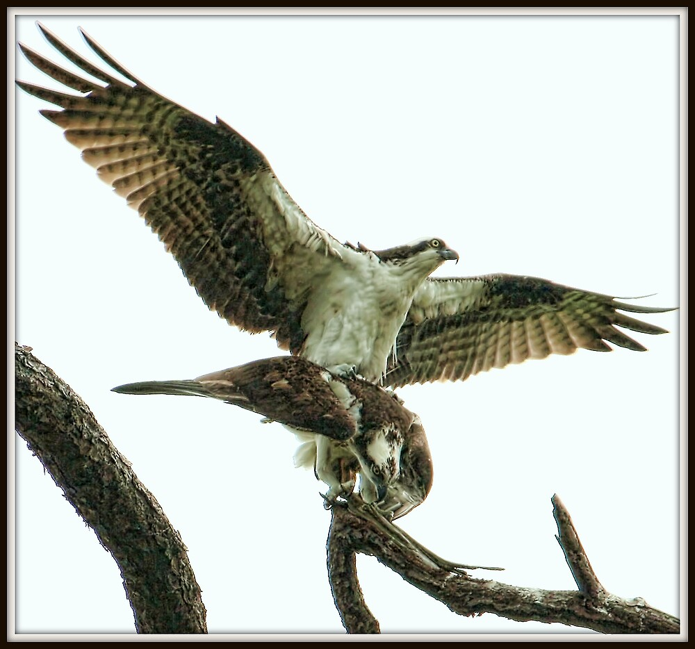Osprey Mates by Mikell Herrick