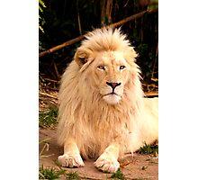 Mr Majestic  ~ White Lion ~ Photographic Print