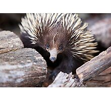 Meet Ernie the Echidna Photographic Print